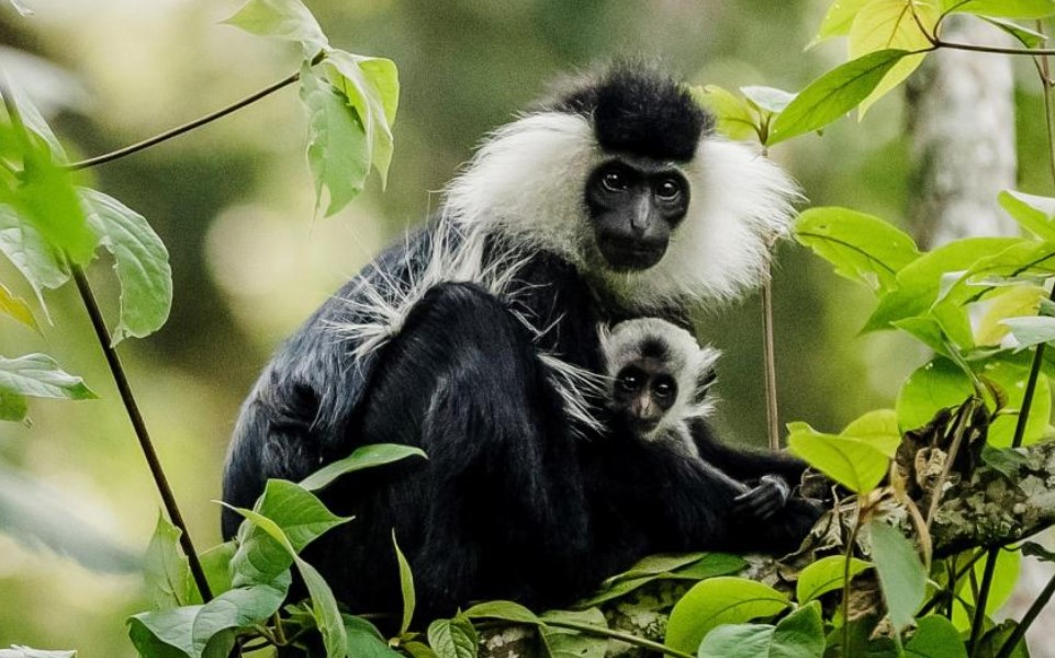 Wildlife species in Nyungwe Forest National park: These can be grouped into flora and fauna. Flora and Fauna are defined as both plant and animal species that live in Nyungwe Forest National park. Examples of animal species may include, mammals