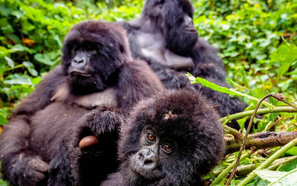 gorilla families in volcanoes national park, Tour Rwanda, visit Rwanda, Rwanda tour, Rwanda gorilla tours, Rwanda gorilla safaris, Gorilla trekking trips in Rwanda, Rwanda safaris