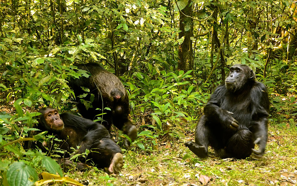 chimpanzee trekking tours in Nyungwe Forest National park