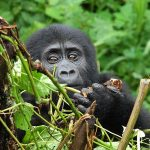 Gorilla trekking in Rwanda, Activities In Volcanoes National Park