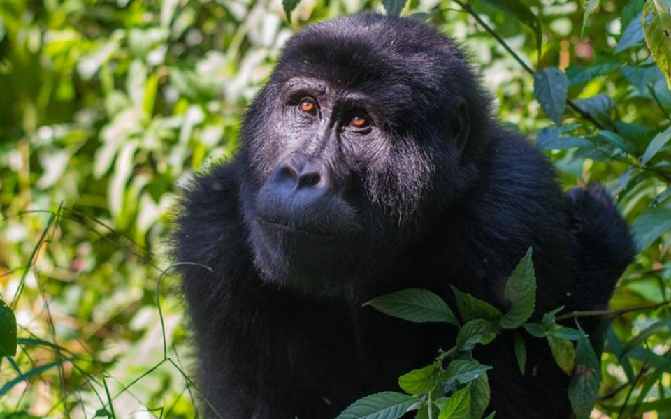 Rwanda is an outstanding destination for tourists who wish to see mountain gorillas. Mountain gorillas are found in Volcanoes national park which is just a 2 hours' drive away from Kigali International Airport. Volcanoes National Park in the East African