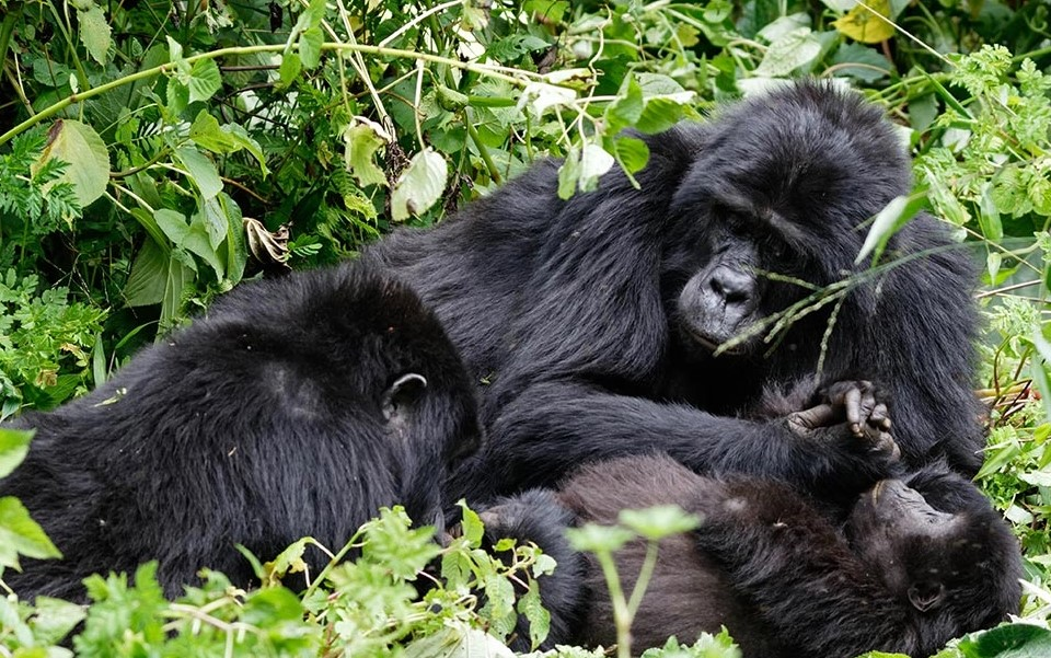 How difficult is to trek gorillas in Rwanda: Endangered mountain gorillas in Rwanda are found in the highland forested areas of Virunga massif which is shared between Uganda's Mgahinga Gorilla National park, Congo's Virunga national park,