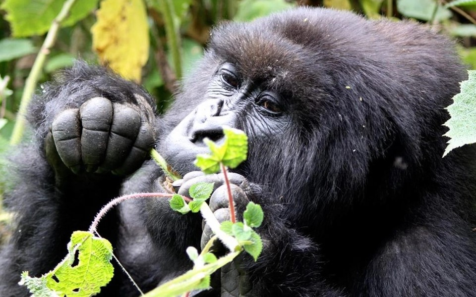 Volcanoes National Park in Rwanda is known for being a home of endangered mountain gorillas which are rare primate species. Mountain gorillas are amiable giant and hairy species that can only be found in natural habitats