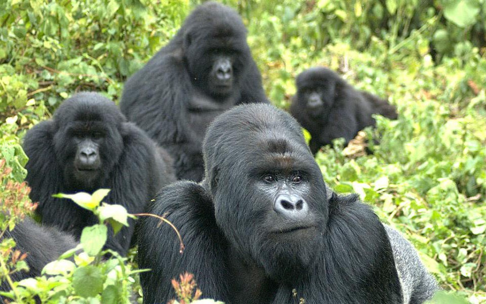 How much does cost to see gorilla is an important question for all the tourists wishing to travel to Rwanda for seeing mountain gorilla. In Rwanda mountain gorillas can be seen only in Volcanoes National park located in Musanze province in the Northwest section of Rwanda