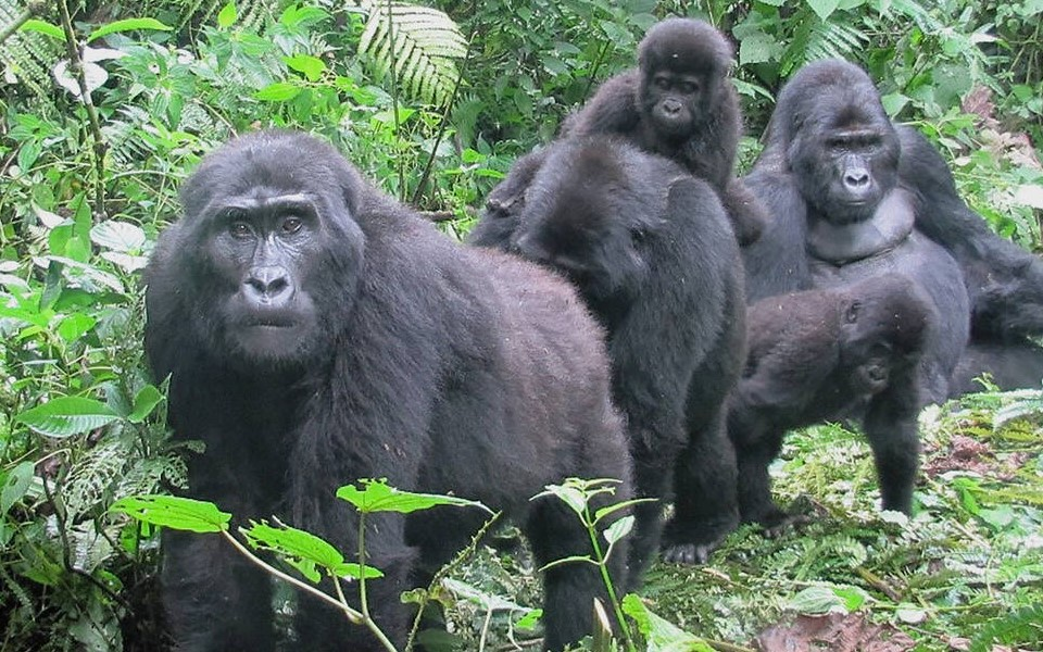 Mountain gorilla trekking takes place in three countries of Rwanda, Uganda, and the Democratic Republic of Congo. It is only in these countries in the whole world where you can travel and explore the endangered mountain gorillas in their natural habitat