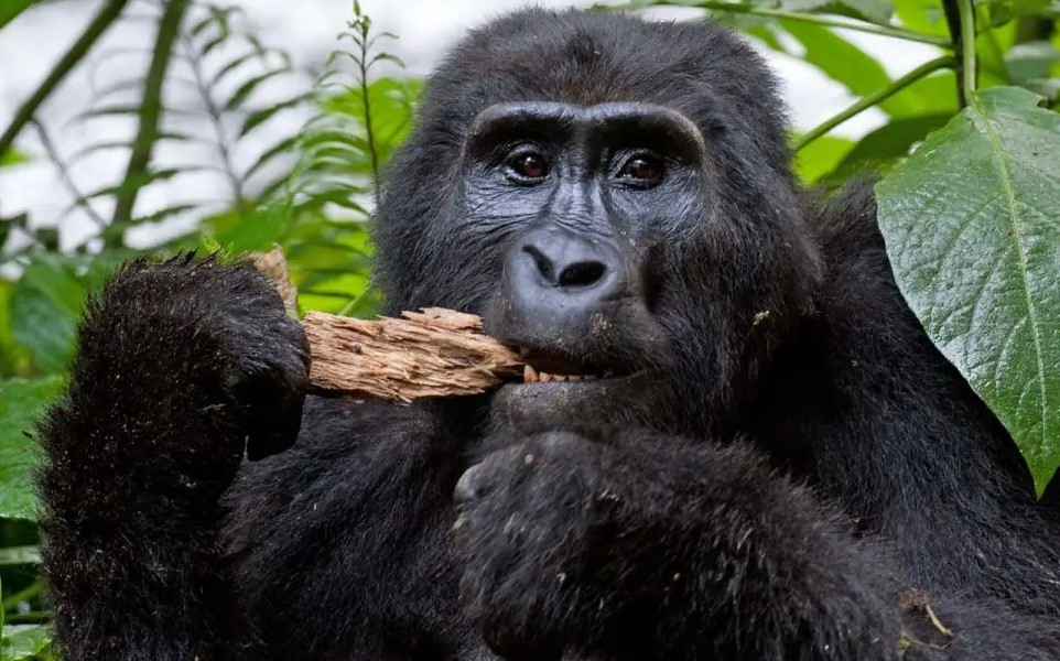 Gorilla tourism has become popular in Rwanda as it contributes significantly to the countries revenue and foreign exchange. Rwanda is one of the few countries of the world where gorilla trekking safaris by visitors are carried out. Other countries