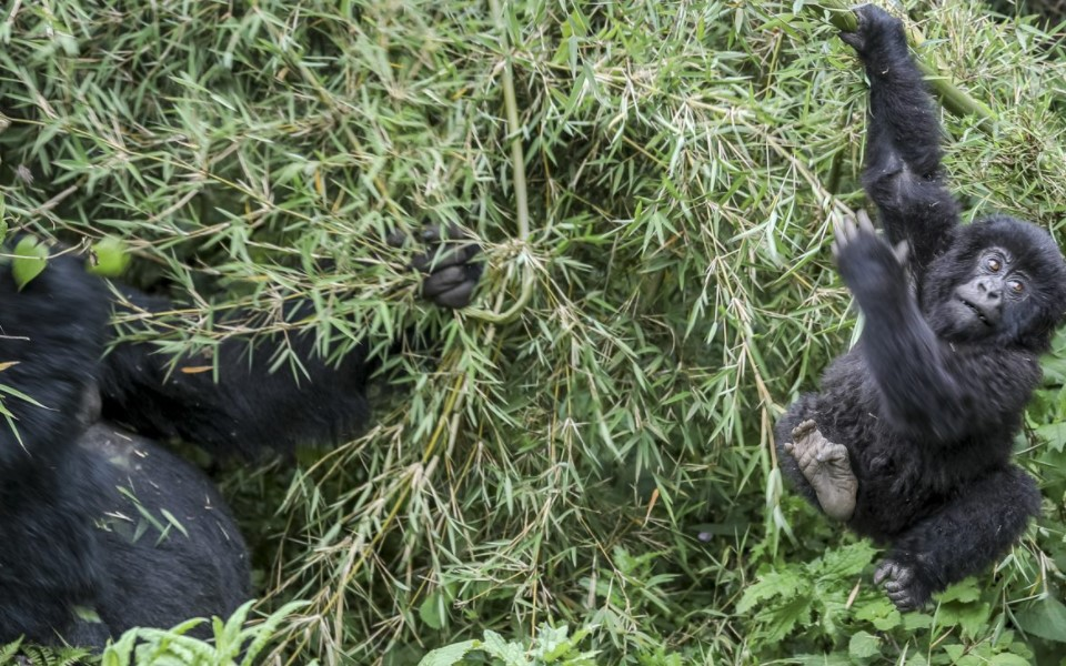 Mountain gorillas are the world's endangered primates that reside in protected areas of forested and mountain national parks in western Uganda, Rwanda, and the Democratic Republic of Congo. The forested areas provide comfortable habitats