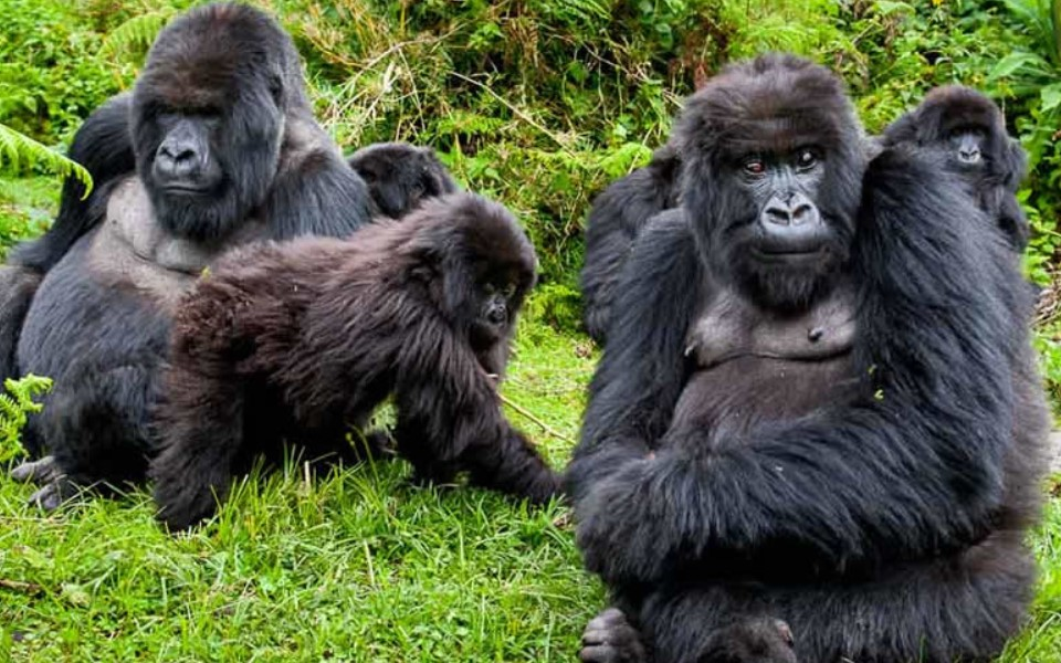 Gorilla trekking is one of the amazing adventure activities in the Republic of Rwanda that involves tourists led by experienced guides and trackers walking on foot via montane Forested Volcanoes National Park in search of the habituated gorilla family