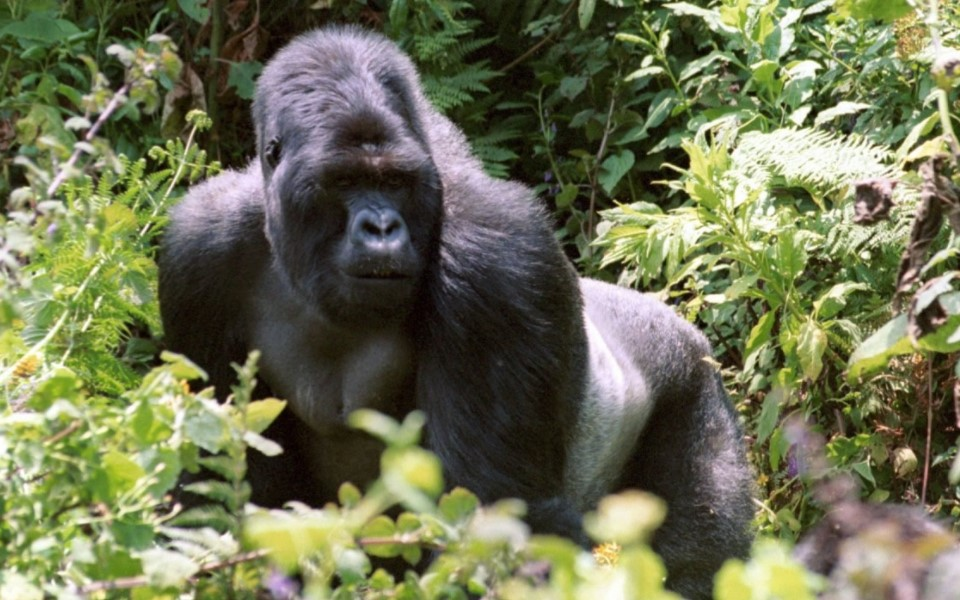 Volcanoes national park is the most significant national park towards the development of the tourism industry of Rwanda. It is Africans oldest national park and it is located in the northwestern part of Rwanda in the Musanze district which was formerly known as Ruhengeri.