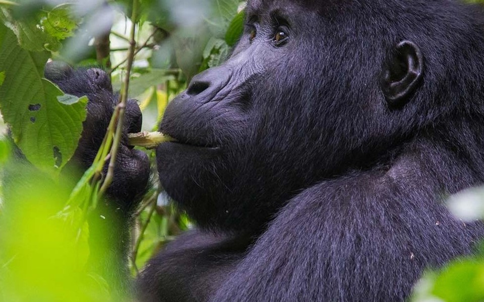 Rwanda is considered as one of the best destinations for tourists looking for the endangered mountain gorillas in their natural habitats. Because of Its beauty coupled with hill and mountains, Rwanda has been dubbed the land of a thousand hills