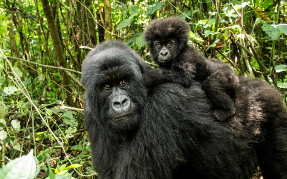 Rwanda is one of the smallest but beautiful countries in Africa with a memorable history and very many places of interest to travelers or visitors wishing to explore its treasures. Rwanda is one of the landlocked countries of East African