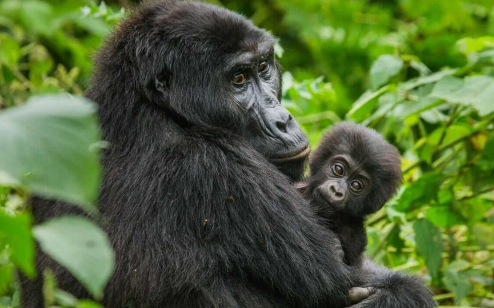 Which country has the most Mountain gorillas