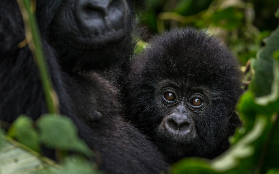 Undeniably, there are mountain gorillas in Rwanda. For any tourists planning to visit Rwanda, he or she should be confident of the presence of mountain gorillas in this country. Rwanda has boosted its tourism industry based on the presence of endangered mountain gorillas